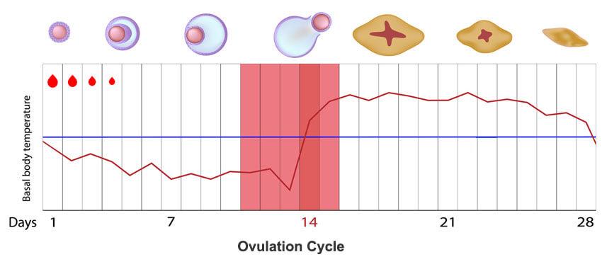 Calculator most accurate ovulation Ovulation calculator